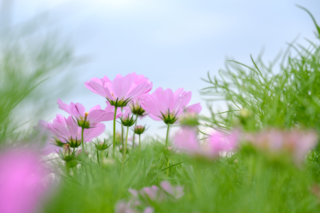 Pink flowers in bottom view in field on blue sky with copy space.