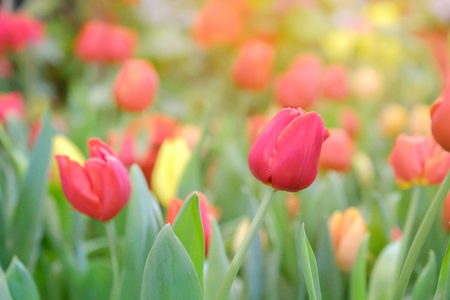 Red tulips growing in field flower in warm light.
