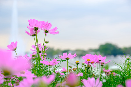 Pink flowers in field on blue sky with copy space.