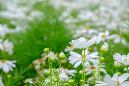 White cosmos flowers in field with copy space.