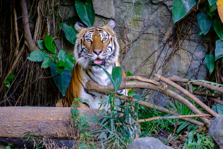 Tiger looking something with fierce eyes.
