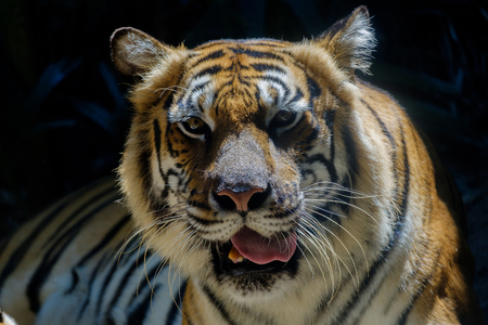 The eyes of a tiger staring fiercely forward.