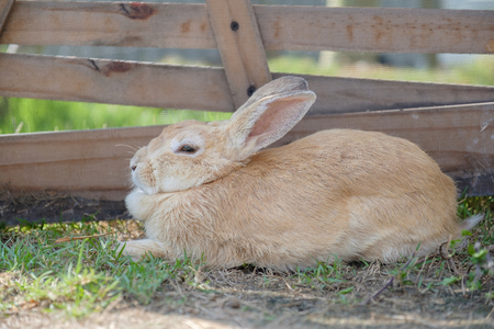 The brown rabbit is crouching on the corral.