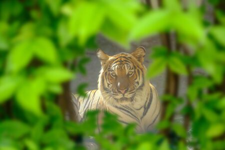The eyes of a tiger staring fiercely forward through the small gaps of the leaves.