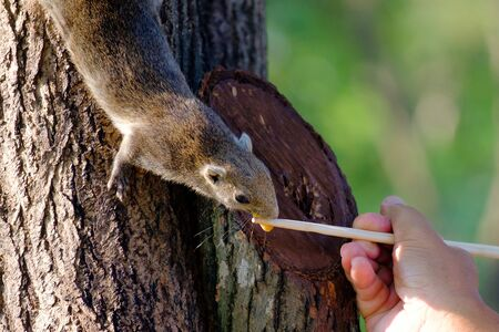 There is a squirrel hang on tree trunk. It is eating nut from hand of someone. 版權商用圖片