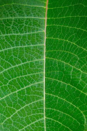 Closeup line on the big green leaves.