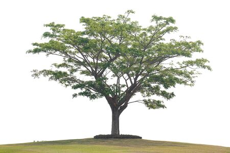 The tree on the white background with clipping path.
