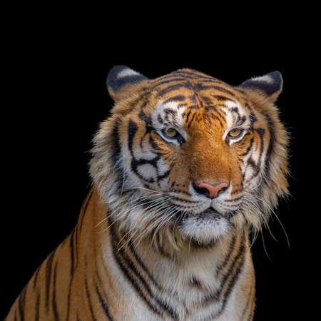 Closeup head of tiger on black background.