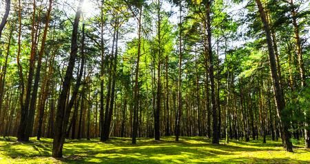 sol en el bosque de pinos