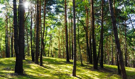 boles: sun in an idyllic pine forest