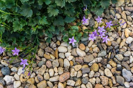 campanula: campanula in rock garden Stock Photo