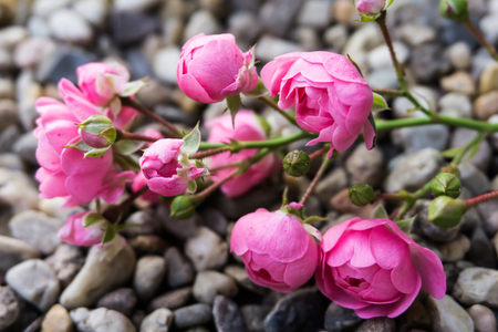 betroth: pink roses on stone background Stock Photo