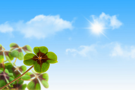 luckiness: four leaf clover in sunshine