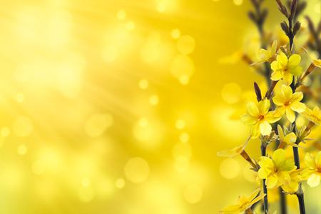 flowering forsythia