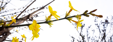 flowering forsythia at the beginning of spring
