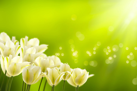 white tulips in the spring sun