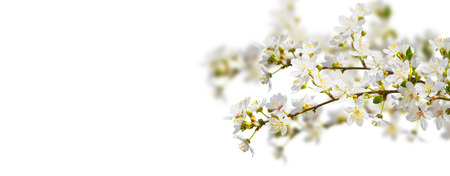 white spring branches on white background