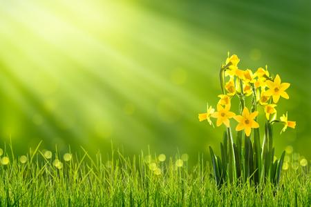 daffodils in sunshine in springtime 免版税图像