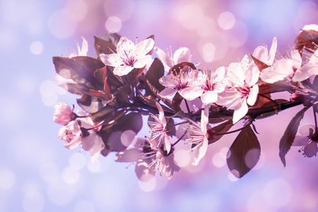 flowering cherry tree in sunshine