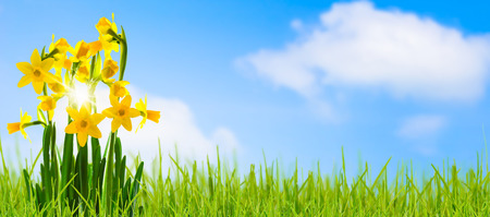 cheerful daffodils in springtime Stock Photo