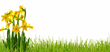 daffodils, narcissi in meadow on white background