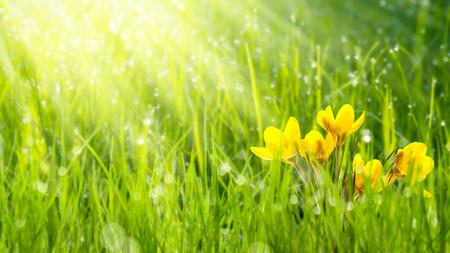 sunshine on crocuses in meadow