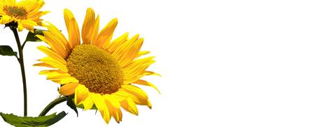 single sunflower on white background banner Banco de Imagens