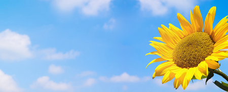 sunflower on blue sky panorama Banco de Imagens