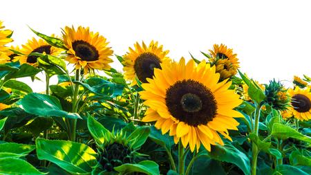 sunflower field on white background Banco de Imagens