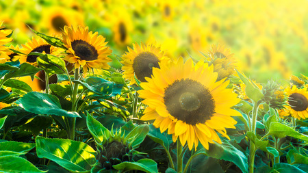 sunflower fiel in sunshine Banco de Imagens