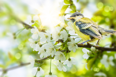 young tit on flowering branch
