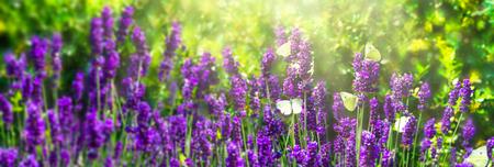 butterflies in lavender meadow