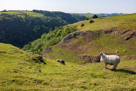 Dovedale-Sheep on green grass in a nature reserve in England