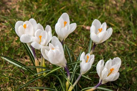 Crocuses - beautiful colorful spring flowers