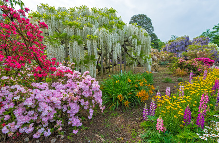 Wisteria - Fuji Flowers In Japan Stock Photo, Picture And Royalty ...