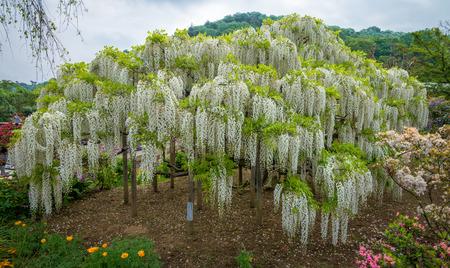 Wisteria - Fuji flowers in Japan