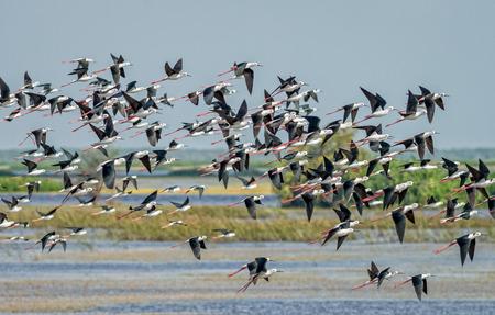 Flock of birds flying, Black-winged Stilt
