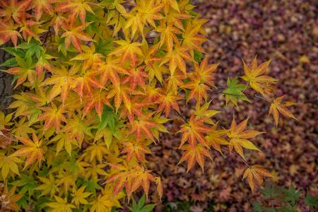 momiji: Beautiful autumn color change in Eikando temple, Kyoto, Japan. Stock Photo