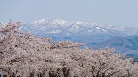 Schöne Kirschblüte, die voll mit schneebedecktem Berg im Hintergrund an Hakodate-Stadt, Hokkaido, Japan blüht. Standard-Bild - 93239391