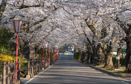 Sakurazaka, cherry blossom tunnel road with beautiful full blooming at Dake onsen town, Fukushima, Japan.