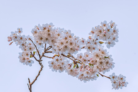 Isolated full blooming of Cherry blossom in spring season, Japan. Stok Fotoğraf