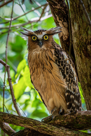 Buffy Fish Owl with big yellow eyes in the forest.