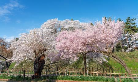 Cherry blossoms full blooming at Tsuruga-jo park, Aizu-wakamatsu, Japan. Stok Fotoğraf