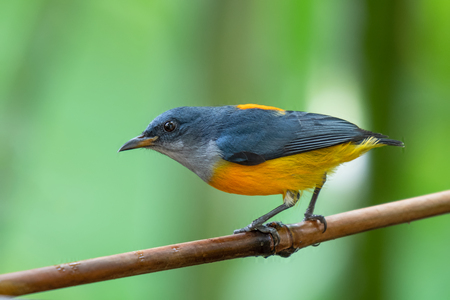 Orange-bellied Flowerpecker in the forest at southern of Thailand.