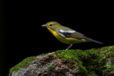 Green-backed Flycatcher in the forest, southern of Thailand. Stok Fotoğraf
