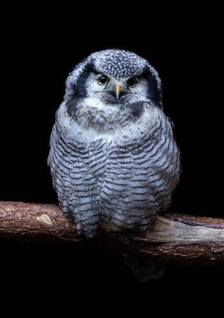 Isolated Northern Hawk Owl on black background.