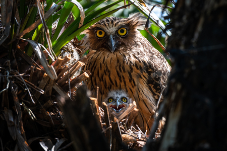 Buffy Fish Owl and her baby in the jungle of southern of Thailand.