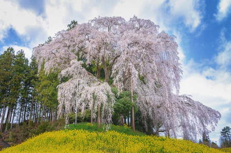 Kassenba giant pink weeping sakura with full blooming, Nihonmatsu, Japan.