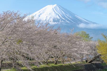 Cherry blossom and Fuji mountain at lake Kawaguchiko, Japan.