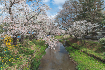 Cherry blossom with full blooming along both side of small canal at Oshino Hakkai village, Japan.